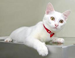 retrato da cor branca de gato tailandês foto