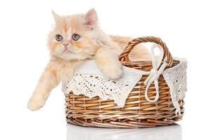 gengibre gato persa em uma cesta foto