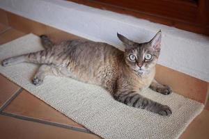 lindo gato devon rex na placa de arranhar foto
