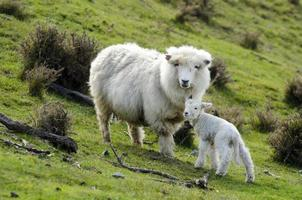 nova zelândia perendale ovelhas foto