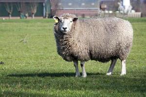 ovelha foto