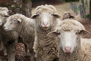 ovelha curiosa foto