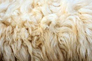 lã de ovelha foto