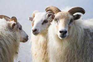 carneiros islandeses foto