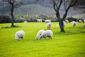 ovelhas pastando foto
