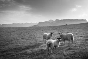 ovelhas no lado de uma colina foto