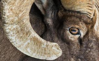 olho de carneiro selvagem e chifre foto