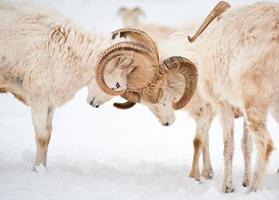 duas ovelhas dall macho (ovis dalli) chifres de bloqueio foto