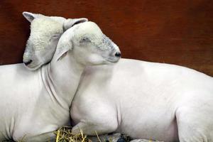 ovelha adormecida foto