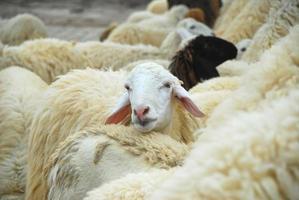ovelha solitária foto