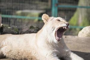 filhote de leão bocejando foto