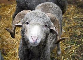 ovelha cinza foto