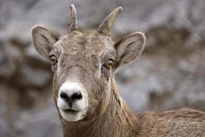 ovelha da montanha rochosa