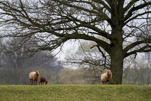 família ovelha foto