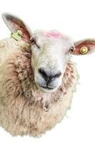 ovelha em branco foto