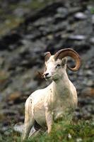 dall sheep ram foto