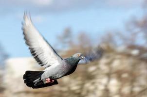 pombo voando foto