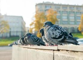 pombas de rua na cidade foto