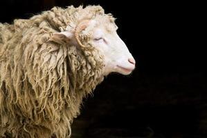 ovelha individual com lã bagunçada foto