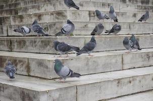 pombos nos degraus foto