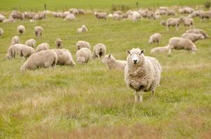 rebanho de ovelhas na nova zelândia foto