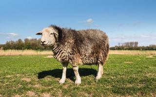 curiosamente olhando ovelhas em pé na pastagem foto