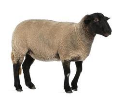 ovelha suffolk fêmea, ovis aries, 2 anos, em pé foto