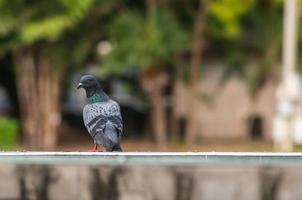 close-up de olhar para trás pássaro pombo foto
