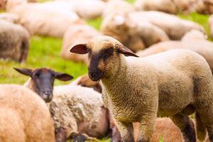 close-up vista de ovelhas que pastam no campo foto