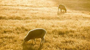 duas ovelhas merino pastando foto