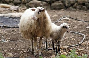 cordeiro e ovelha foto