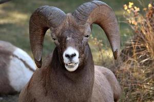 montanha rochosa big horn ovelhas