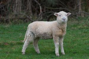 ovelhas em um piquete foto
