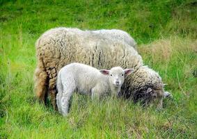 mãe ovelha e seu cordeiro na primavera foto