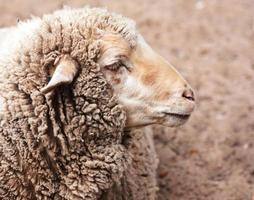 ovelha lanosa no zoológico foto