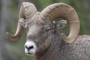 close-up de uma ovelha grande chifre