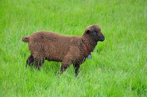 ovelha lanosa marrom foto