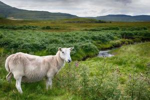 ovelhas na estrada foto