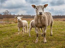 família ovelha branca foto