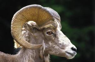 ovelha longa foto