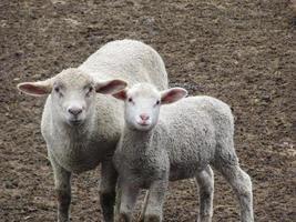 mama ovelha e bebê cordeiro foto