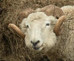 cabeça de carneiro foto
