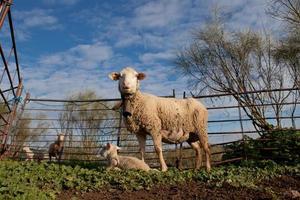 bebê cordeiro e suas ovelhas maternas foto