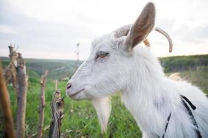 cabra num prado verde foto