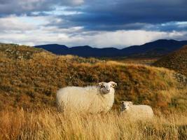 ovelha da islândia com cordeiro foto