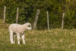 curioso cordeiro no pasto de fazenda foto