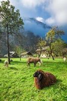 ovelhas pastam em pastagens nos Alpes foto