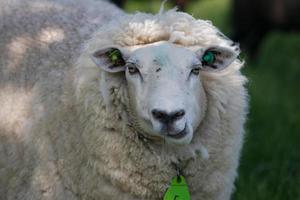 ovelha branca, mastigação, close-up foto