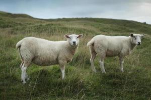 ovelhas pastando na encosta foto