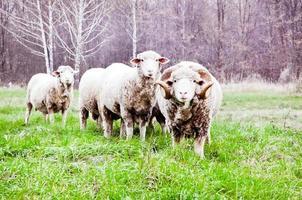 ovelhas no campo de outono